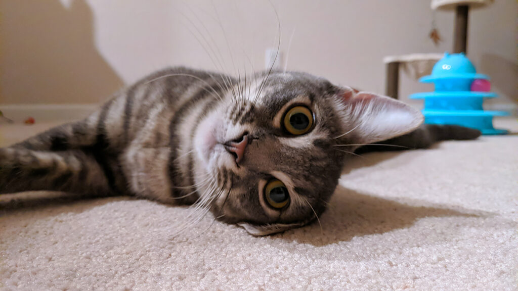 Close-up of Gemma the rescue kitty's face as she is lying on the living room floor