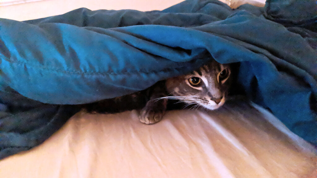 Gemma the rescue kitty peers out from under a thick blanket