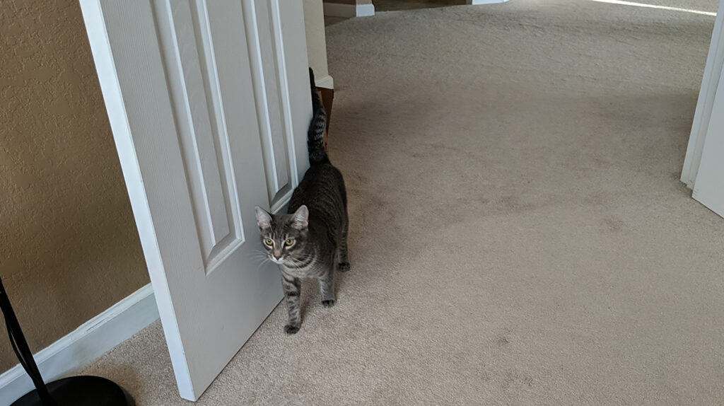 Gemma the rescue kitty walks through the doorway of the author's office