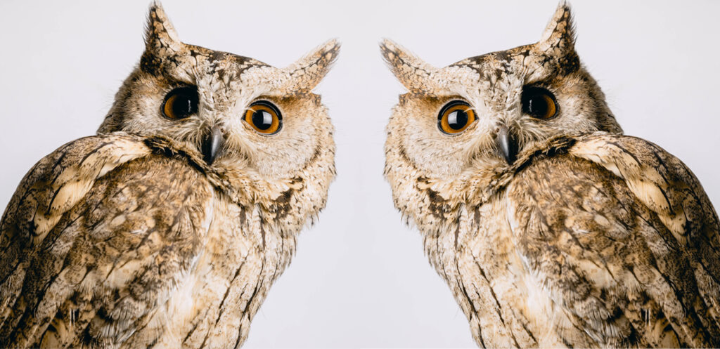 Head shot of an owl with a white background reflected