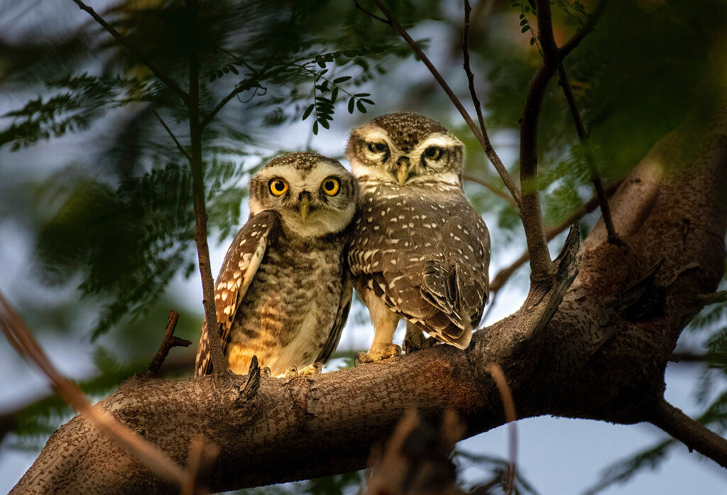 Two small owls sit next to each other on a tree branch.